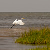 Little Egret Egretta garzetta small white heron