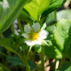 Close up of the strawberry flower