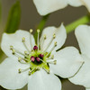 Apple tree blossom, white flowers on a green leaves background