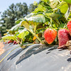 strawberry picking at field farm on sunny day
