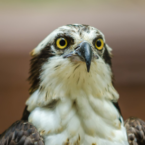 A beautiful closeup of a falcon
