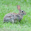Wild rabbit in the green  meadow yard