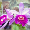 Beautiful purple orchid - phalaenopsis