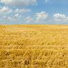 harvest ready farm field with blue sky