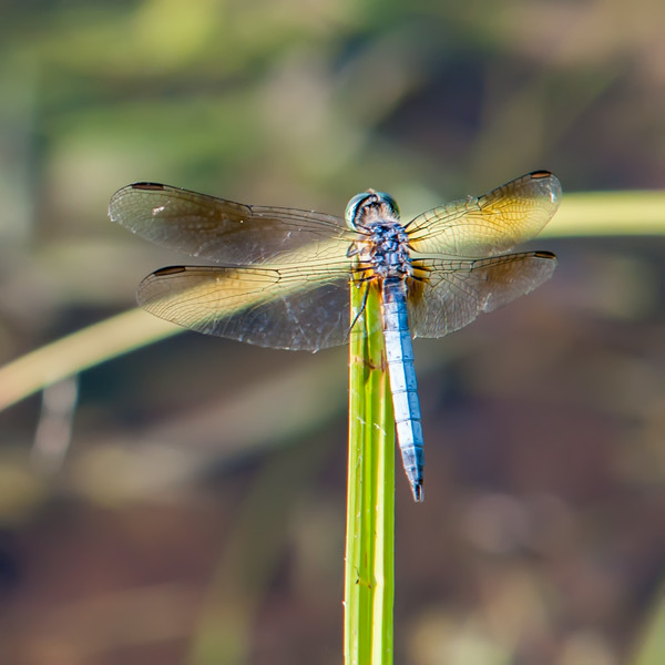 Dragonfly on grass with lake water  background