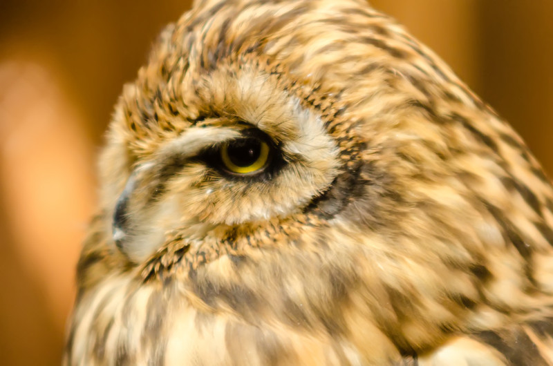 closeup of an owl