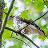 hawk hunting for a squirrel on an oak tree