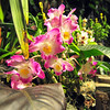 pink orchids blooming in backyard garden