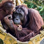 A female of the orangutan with a cub in a native habitat