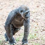 gorilla monkey picking food speck off the ground