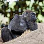 gorilla sitting on a rock thinking