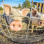 the funny little pigs on farm
