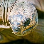 Aldabra giant tortoise Dipsochelys dussumieri closeup