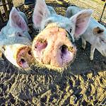 three little pigs on the farm