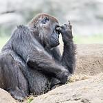 gorilla sitting on a rock thinking