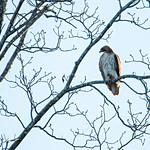 adult hawk on a tree