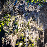 spanish moss growin on a tree at the plantation