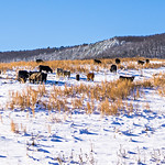 cattle stock on pasture covered in snow in south mountains north carolina
