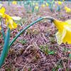Beautiful yellow daffodils Narcissus