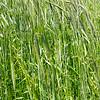green grass wheat closeup panorama