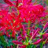 Red spider lily lycoris radiata cluster amaryllis higanbana