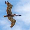 pelican bird in flight over ocean under blue sky