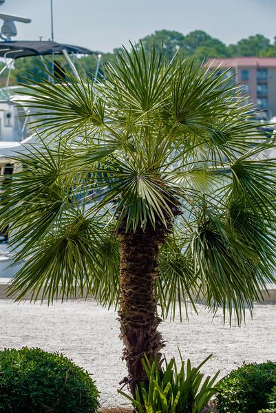 Palmetto tree set against a Carolina blue sky.