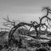 dead old tree near monument valley arizona