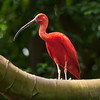 Scarlet Ibis bird with long beak perched in tree