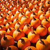 Pumpkins in pumpkin patch waiting to be sold