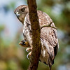 coopers hawk perched on tree watching for small prey