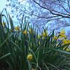 daffodils on a lawn meadow